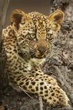 Leopardo Cub Imágenes de archivo libres de regalías