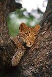 Leopardo Cub Fotografie Stock