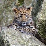 Leopardo Cub de Amur Fotografia de Stock