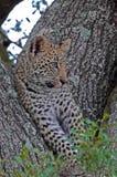 Leopardo Cub de Kruger Fotos de Stock Royalty Free