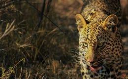Leopardo Cub después de una comida foto de archivo libre de regalías