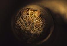 Leopardo Cubs1 del tubo Immagini Stock