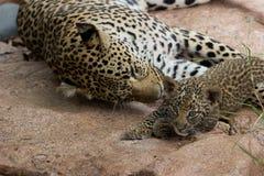 Leopardo da mãe e do bebê Imagens de Stock Royalty Free