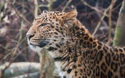 Leopardo da porcelana de Nord Imagens de Stock