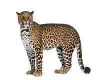 Leopardo davanti ad una priorità bassa bianca Immagini Stock Libere da Diritti