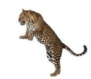 Leopardo davanti a priorità bassa bianca Immagini Stock Libere da Diritti