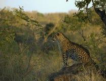 Leopardo de África do Sul na rocha foto de stock