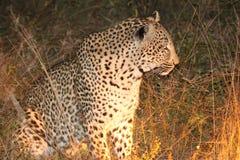 Leopardo de acecho Imágenes de archivo libres de regalías
