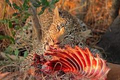 Leopardo de alimentación Imágenes de archivo libres de regalías