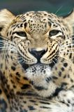 Leopardo de ameaça fotos de stock royalty free