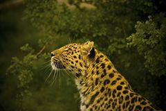 Leopardo de Amur fotos de stock royalty free