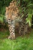 Leopardo de Amur Fotografía de archivo libre de regalías