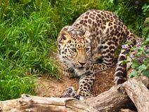 Leopardo de Amur Fotos de archivo libres de regalías