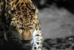 Leopardo de Amur fotografia de stock royalty free