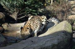 Leopardo de Amur Imagen de archivo
