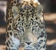 Leopardo de Amur Imagens de Stock Royalty Free
