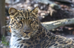 Leopardo de Amur Fotos de Stock Royalty Free