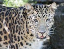 Leopardo de Amur Fotografia de Stock