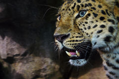 Leopardo de Amur en el vagabundeo Fotografía de archivo libre de regalías