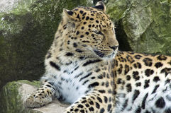 Leopardo de Amur - orientalis del pardus del Panthera Fotos de archivo
