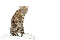 Leopardo de assento Foto de Stock Royalty Free