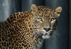 Leopardo de Ceilán Fotos de archivo