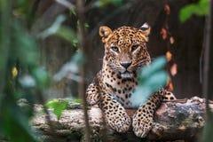 Leopardo de Ceilán que miente en un registro de madera fotografía de archivo
