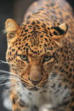 Leopardo de China Imagem de Stock Royalty Free