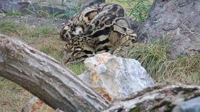 Leopardo de Cloudoed que miente en la hierba en parque zoológico almacen de metraje de vídeo