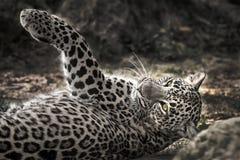 Leopardo de descanso na região selvagem fotografia de stock royalty free