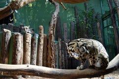 Leopardo de dos jóvenes en un parque zoológico Fotografía de archivo