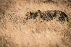 Leopardo de la caza Fotografía de archivo libre de regalías