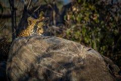 Leopardo de la mañana Fotografía de archivo libre de regalías