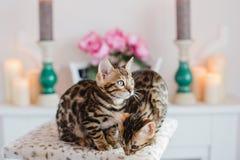 Leopardo de los babys de los gatos de Bengala Fotografía de archivo