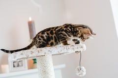 Leopardo de los babys de los gatos de Bengala Imagen de archivo