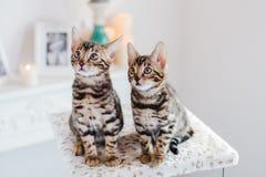 Leopardo de los babys de los gatos de Bengala Imágenes de archivo libres de regalías