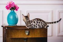 Leopardo de los babys de los gatos de Bengala Foto de archivo libre de regalías