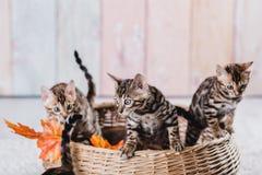 Leopardo de los babys de los gatos de Bengala Fotos de archivo libres de regalías