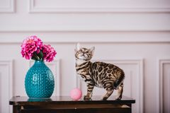 Leopardo de los babys de los gatos de Bengala Fotografía de archivo libre de regalías