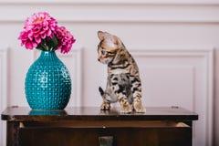 Leopardo de los babys de los gatos de Bengala Foto de archivo