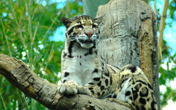 Leopardo de Lounging foto de stock royalty free
