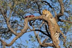 Leopardo de Namibia Fotos de archivo