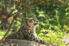 Leopardo de neve, fotografia de stock