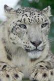 Leopardo de neve 2 fotografia de stock