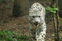 Leopardo de neve Fotografia de Stock Royalty Free