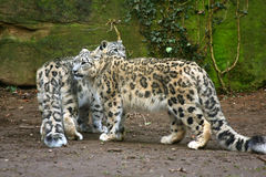Leopardo de neve Imagens de Stock