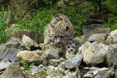 Leopardo de neve Imagens de Stock Royalty Free