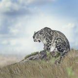 Leopardo de neve imagem de stock royalty free
