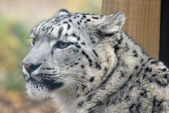 Leopardo de neve Fotos de Stock