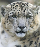 Leopardo de neve Fotos de Stock Royalty Free